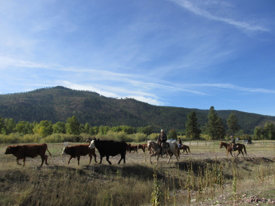 The Best Thing About Montana Are The Men. Montana Cowboy Out On the Range - Hustling Up Red Angus Cattle Headed to the River
