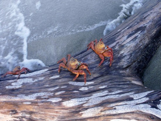Sally Lightfoot Crabs of the Galapagos Islands