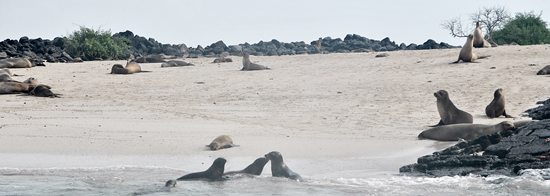 Sea Lions Lounging on the Beach at Floreana Island
