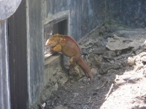 Land Iguana Restoration Center on Santa Cruz Island, Galapagos