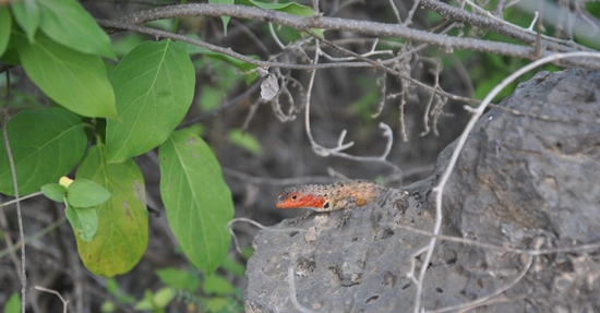 Female Lava Lizard Spotted at Crab Beach on Floreana Island
