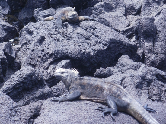Galapagos Islands Lizards & Iguanas.  Iguanas Catching Some Sun on Isabela Island