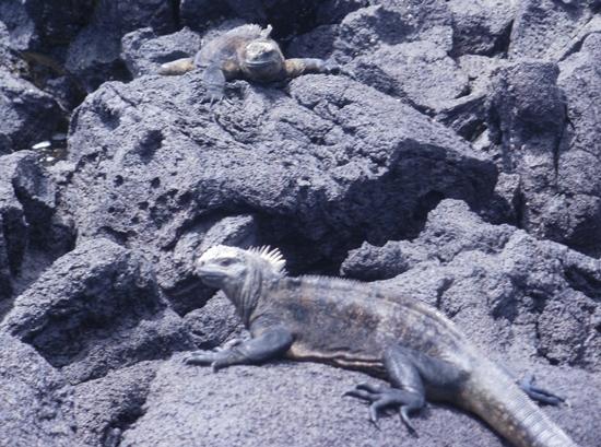 Galapagos Islands Lizards & Iguanas.  Iguanas Catching Some Sun on Isabela Island