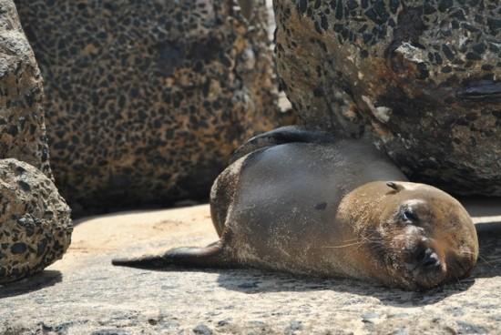 Galapagos Islands Sea Lions. Sleepy Head Sea Lion at Navy Beach Next to Where the Cruise Ships Depart